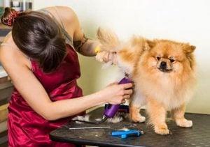 klippning av hund